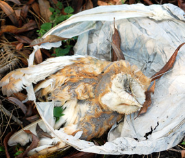 a owl is found dead in a discarded sky lantern