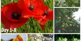 30 Days Wild 2016- Day 1- 8: Poppies And Elder Flowers